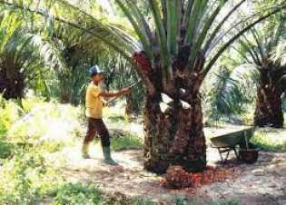Sejak Januari Alami Penurunan, Harga TBS Kelapa Sawit di Riau Pekan Ini Rp1.639,67 per Kg