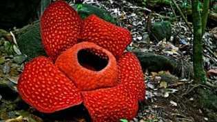 Jelang Tahun Baru, Bunga Rafflesia Terbesar di Dunia Mekar di Sumbar