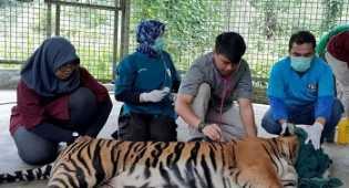 Kronologi Matinya Harimau Inung Rio yang Dijerat Pemburu di Riau