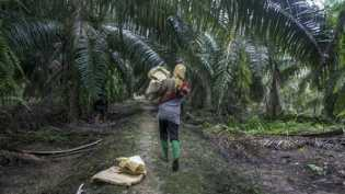 1,8 Juta Hektare Sawit di Kawasan Hutan Disebut Tak Berizin