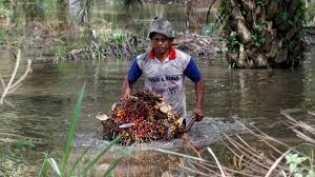 Periode 15-21 Januari, Harga TBS Kelapa Sawit di Riau Sebesar Rp2.229,41 per Kg