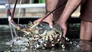 Ekspor Lobster Edhy, Tanggapan Gila Kata Faisal Basri,  Tetapi Didukung Luhut