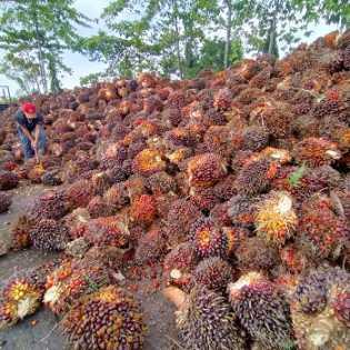 Harga TBS Kelapa Sawit Periode 8-14 April Dibayar Rp1.858,31 per Kg