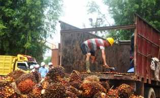 Harga TBS Sawit Riau Periode 13-19 November 2019 Naik Rp 80,31/Kg