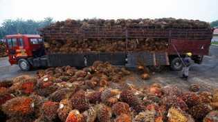 Harga Tandan Buah Segar Sawit Riau Turun Hingga 5,72 Persen