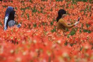 Saatnya Berwisata ke Yogyakarta, Bunga Amarilis Patuk Mulai Mekar