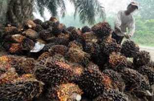 TBS Kelapa Sawit di Riau 'Jatuh' di Harga Rp1.815,16 per Kg