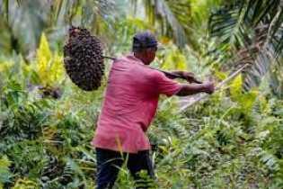 Harga TBS Kelapa Sawit di Riau Naik Lagi Jadi Rp1.815,12 per Kg