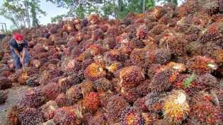 Stok Melimpah Akibatkan Harga Sawit Riau Anjlok