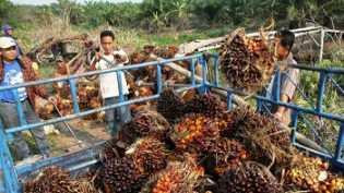 Harga TBS Kelapa Sawit Pekan Ini di Riau, Tembus Rp 2000 per Kilogram, Harga TBS Kelapa Sawit Naik