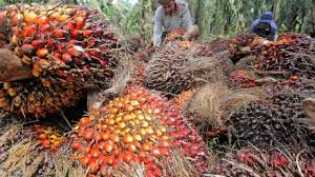 Harga TBS Kelapa Sawit di Riau Naik Jadi Rp1.968,25 per Kg