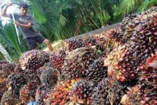 Sudah Sebulan Terjadi Penurunan, Harga TBS Kelapa Sawit di Riau Pekan Ini Rp1.865,81 per Kg