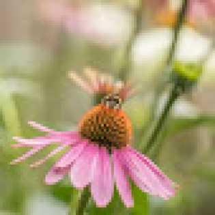 10 Manfaat Echinacea untuk Kesehatan, Herbal Alami Penguat Imun