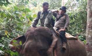 Gajah Rusak Kebun Warga di Cerenti