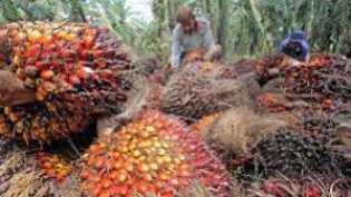 Pekan Ini, Harga TBS Kelapa Sawit di Riau Turun Jadi Rp1.717,15 per Kg