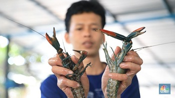 Ekspor Bibit Lobster Terus Heboh, Susi Pudjiastuti Buka Suara